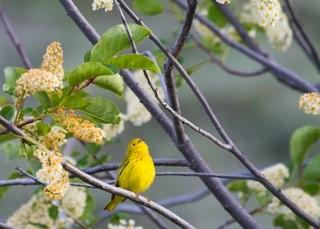 warblers&wildflowers_warbler
